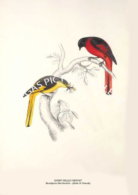 Fine art print of the SHORT-BILLED MINIVET - Muscipeta Brevirostris by John Gould (1831) reproduced by Segas Picture Gallery.